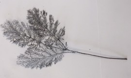 Silver fern leaves 70cm